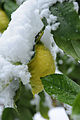 Schnee Zitrone Citrus × limon 2.JPG