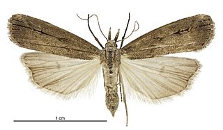 <i>Schrankia costaestrigalis</i> species of insect