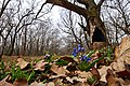 Scilla siberica & Quercus robur.jpg