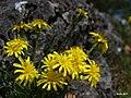 Scorzonera austriaca.jpg