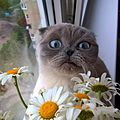 Scottish Fold and chamomile.jpg