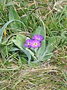 Scottish Primrose - geograph.org.uk - 1438296.jpg