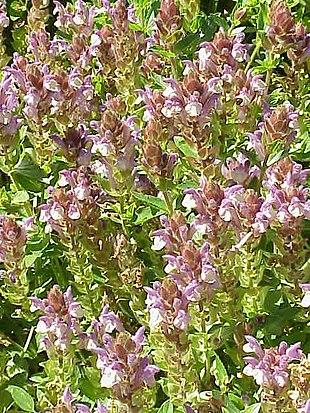 Scutellaria alpina2.jpg