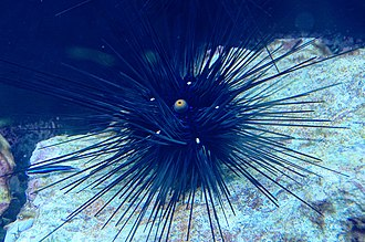 Ectosymbiosis - Sea urchins, with their many spines provide protection for the ectosymbiotic parasites that live on them.