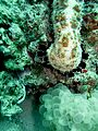 Sea cucumber and bubble coral (5407089872).jpg