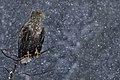 Sea eagle LGphoto.jpg