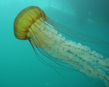 Sea nettle (Chrysaora fuscescens) 2.jpg