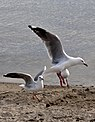 Seagull in flight-1 (4862163241).jpg