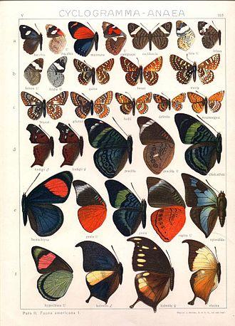 Adalbert Seitz - Plate from Macrolepidoptera of the World.