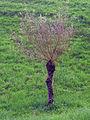 Seltsamer Baum Heldsberg.JPG