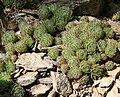 Sempervivum ciliosum 01.jpg