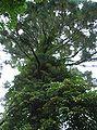 Sequoiadendron giganteum 1.jpg