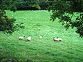 Sheep - geograph.org.uk - 263221.jpg