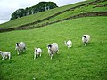 Sheep - geograph.org.uk - 436613.jpg