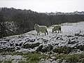 Sheep Grazing in the Snow - Far Ings - geograph.org.uk - 1149548.jpg