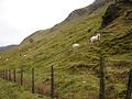 Sheep on the slopes of Craig y Fintan - geograph.org.uk - 290610.jpg
