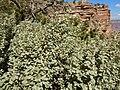 Shepherdia rotundifolia (8003260880).jpg