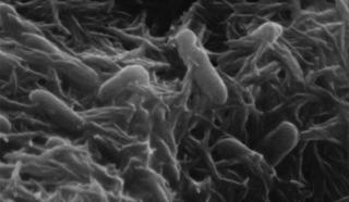 Alteromonadales order of bacteria
