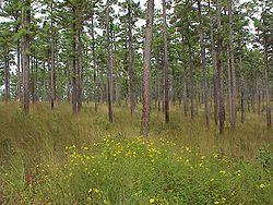 Shortleaf pine.jpg