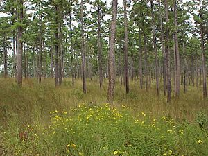 Shortleaf pine.jpg