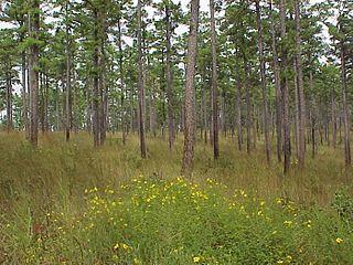 <i>Pinus echinata</i> species of plant