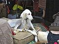 Shy saluki dog (8109900535).jpg