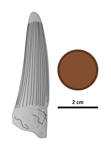 Illustrated conical dinosaur tooth next to a 2 centimetre coin; the tooth is 6 centimetres in height