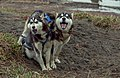 Siberian Husky 05(js), Nome (Alaska).jpg