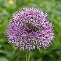 Sierui (Allium). Locatie, Tuinreservaat Jonkervallei 01.jpg