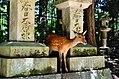 Sika deer in Nara 02.jpg