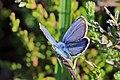 Silver-studded blue (Plebeius argus) male 2.jpg