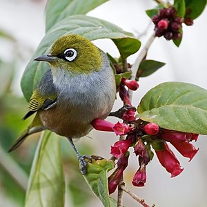 A Silvereye perched on a blooming Cestrum species