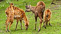 Sitatungas - Zoo de Beauval.jpg