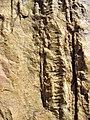 Skolithos - Armorican Quartzite, Ordovician. Berrueco, Saragossa, Spain 002.JPG