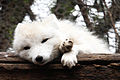 Sleepy Arctic Fox.jpg