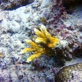 Small colony of Acropora branching.jpg