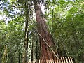 Smangus Giant Trees 司馬庫斯神木群 - panoramio.jpg