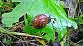 Snail eating Etana syömässä 02.jpg