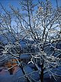 Snow covered tree in early light with house in February in New Jersey.JPG