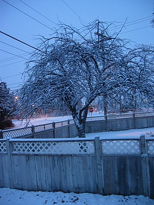 Dormancy - Image: Snowed in tree in Hermiston