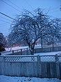 Snowed-in tree in Hermiston.JPG