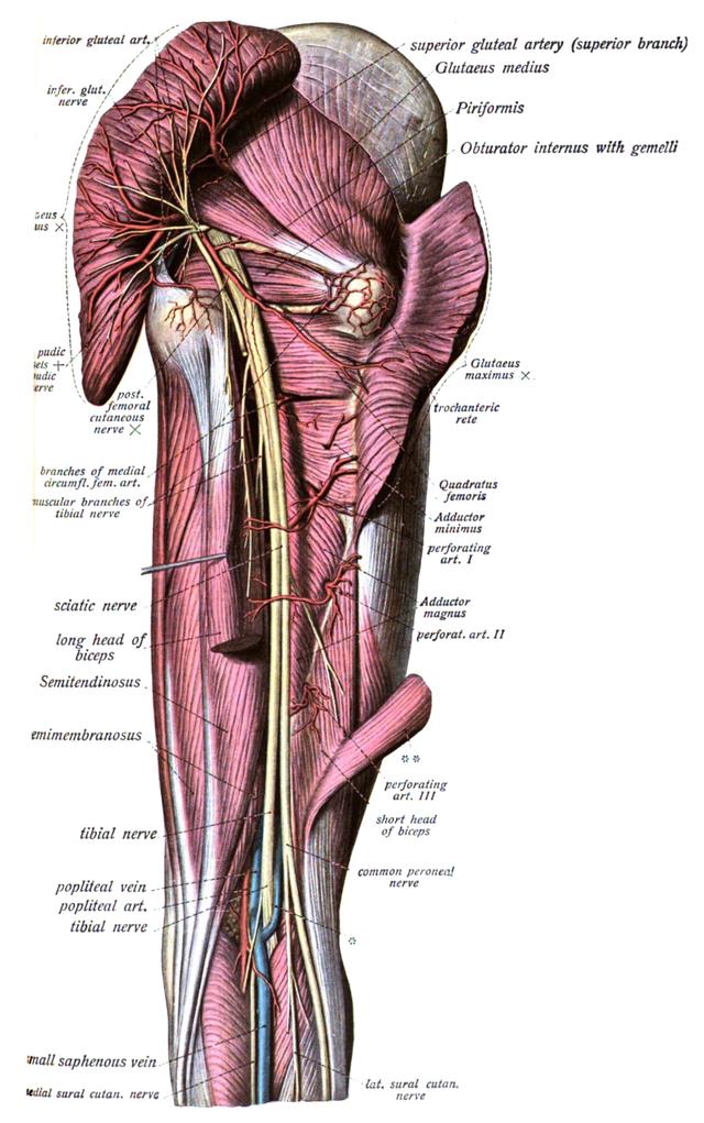 nerfs cluniaux supérieurs