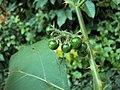 Solanum violaceum 18.JPG