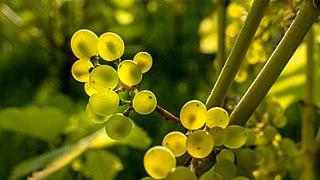 Solaris grapes in Chateaux Luna vineyard 24.jpg
