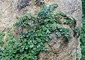 Soleirolia soleirolii kz01.jpg