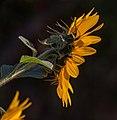 Sonnenblume IMG 2656.jpg