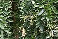 Sophora japonica 'Pendula' au Plateau des poètes001.JPG