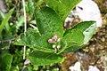Sorbus chamaemespilus - img 29733.jpg
