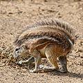 South African Ground Squirrel (Xerus inauris) female (32903938881).jpg