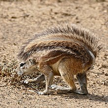 South African Ground Squirrel (Xerus inauris) female (32903938881).jpg